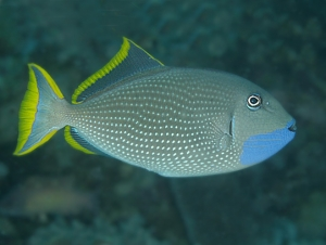 Male Gilded Triggerfish