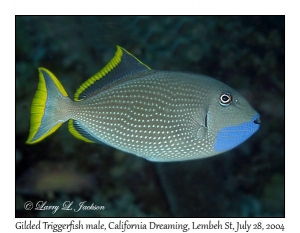 Gilded Triggerfish male