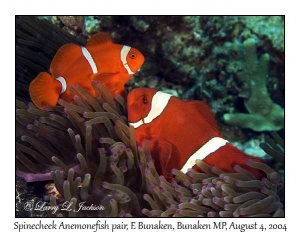 Spinecheek Anemonefish in Bubble-tip Sea Anemone