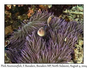 Pink Anemonefish in Leathery Sea Anemone