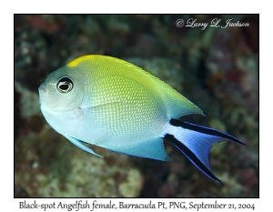 Black-spot Angelfish female