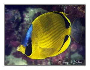 Dotted Butterflyfish