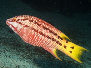 Intermediate Phase Mexican Hogfish