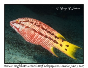 Mexican Hogfish, intermediate phase