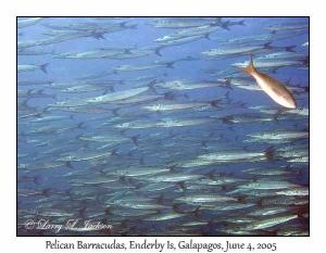 Pelican Barracudas