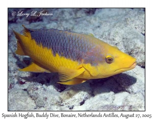 Spanish Hogfish, terminal phase