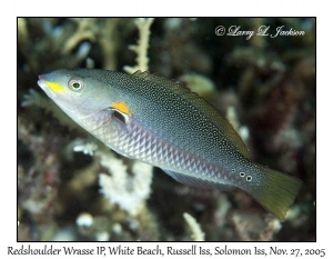 Redshoulder Wrasse, late intermediate phase