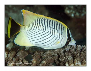 Chevroned Butterflyfish