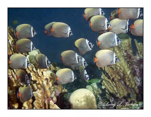 White Collar Butterflyfish