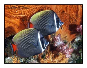 White Collar Butterflyfish & Annella sp. Seafan