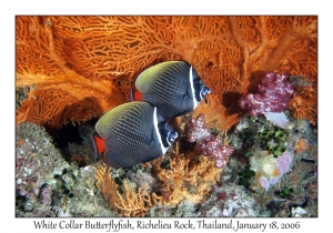 White Collar Butterflyfish & Sea Fan