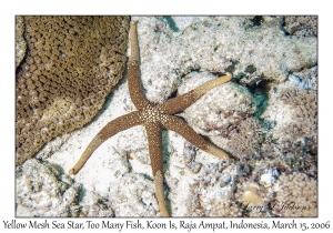 Yellow Mesh Sea Star
