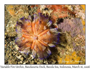 Variable Fire Urchin