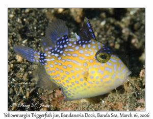 Yellowmargin Triggerfish, juvenile