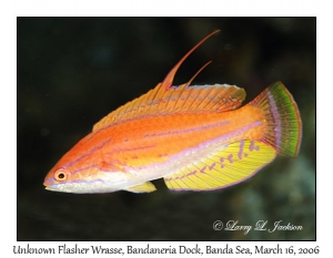Unknown Flasher Wrasse