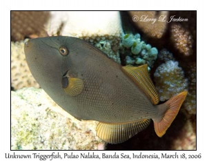 Unknown Triggerfish, possible hybrid