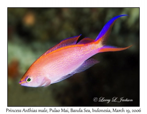 Princess Anthias, male