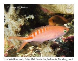 Lori's Anthias, male