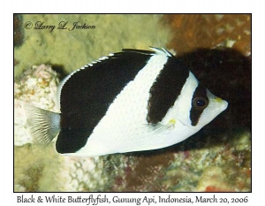 Black & White Butterflyfish