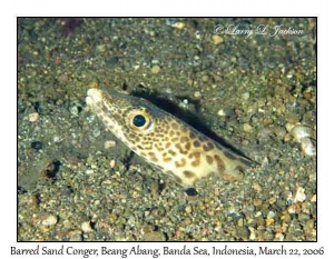 Barred Sand Conger