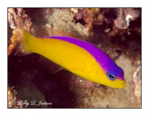 Purpletop Dottyback
