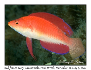 Red-finned Fairy Wrasse, terminal phase