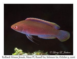 Redback Wrasse, female