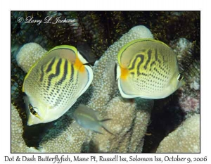 Dot & Dash Butterflyfish