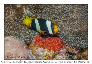 Clark's Anemonefish male guarding eggs