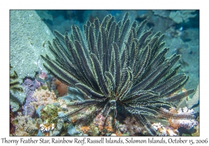 Thorny Feather Star