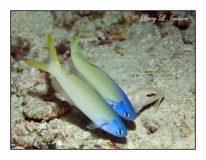 Bluehead Tilefish pair