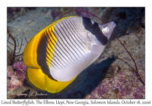 Lined Butterflyfish