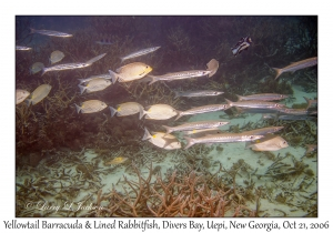Yellowtail Barracuda & Lined Rabbitfish