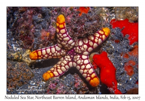 Noduled Sea Star