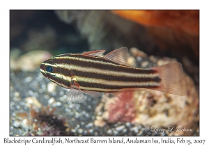 Blackstripe Cardinalfish