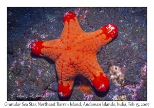 Granular Sea Star