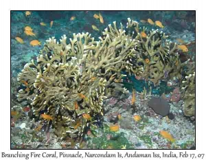 Branching Fire Coral