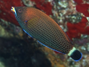 Terminal Phase Chiseltooth Wrasse
