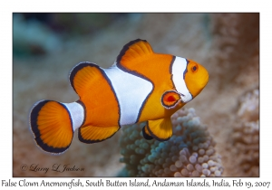 False Clown Anemonefish female