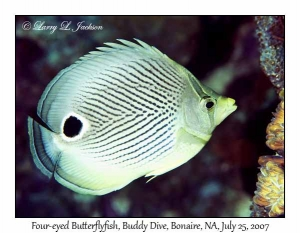 Four-eyed Butterflyfish