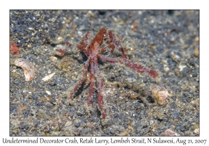 Decorator Crab