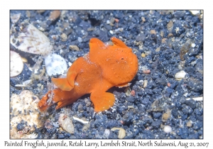 Painted Frogfish juvenile