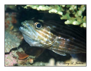 Tiger Cardinalfish & eggs