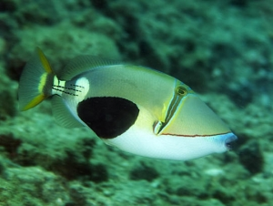 Blackpatch Triggerfish