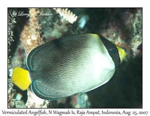 Vermiculated Angelfish