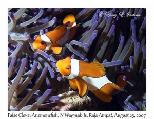 False Clown Anemonefish in Magnificent Sea Anemone