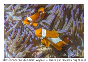 False Clown Anemonefish in Magnificent Anemone