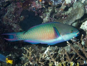 Terminal Phase Bluepatch Parrotfish