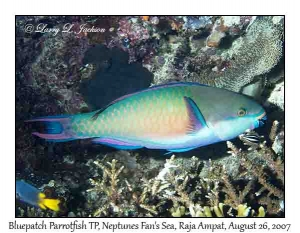 Bluepatch Parrotfish terminal phase