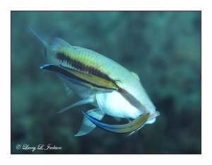 Dash-dot Goatfish & Bluestreak Cleaner Wrasses
